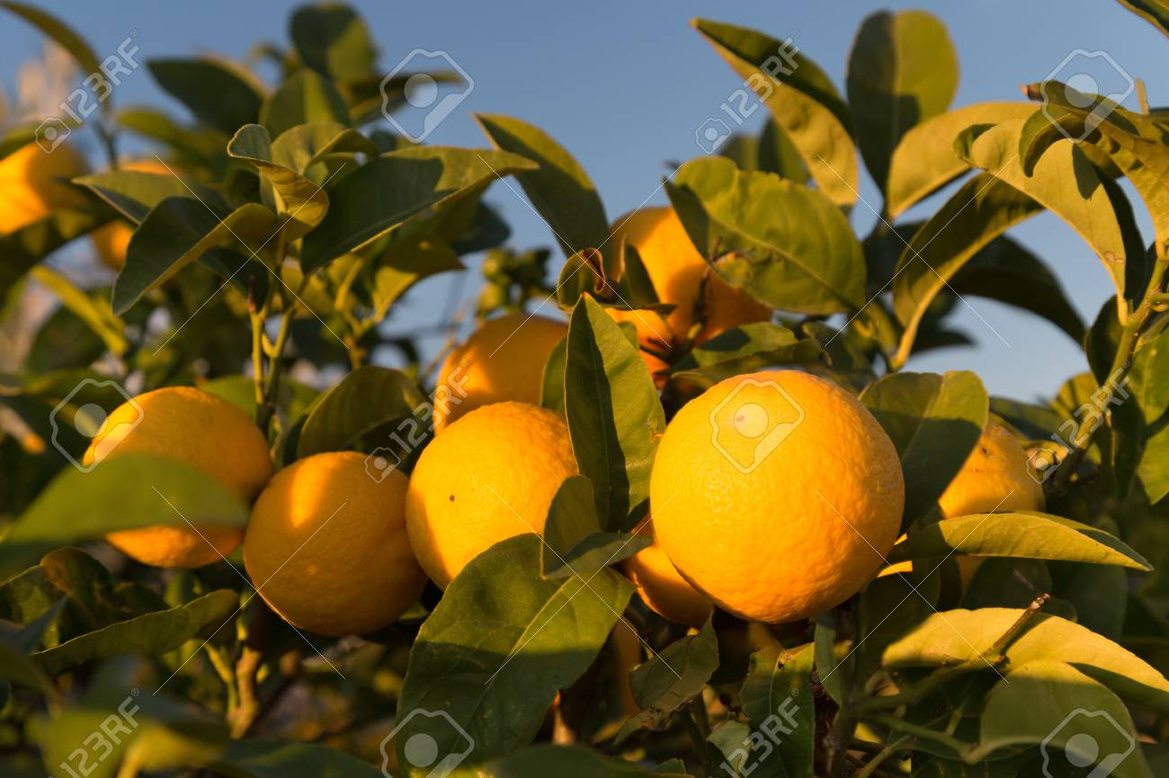 Ripe oranges on a tree. Sunny day in Italy - 116426923