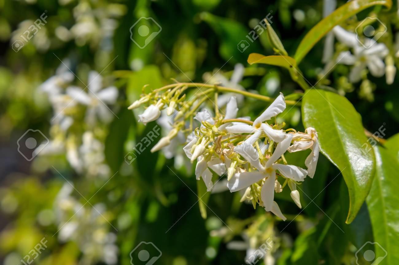 Blooming jasmine bush in a garden - 116426955