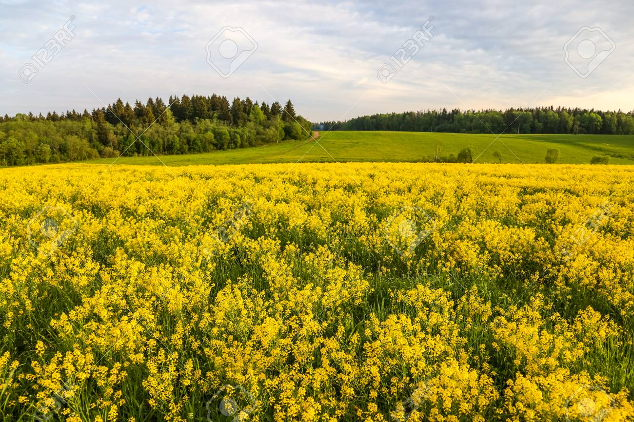 Field of blooming colza, also known as rapeseed (Brassica napus) - 116427038
