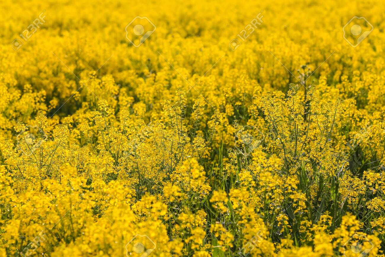 Field of blooming colza, also known as rapeseed (Brassica napus) - 116427072