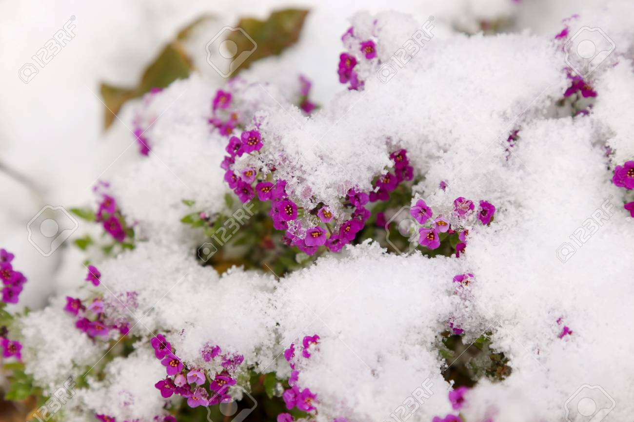 Small pink flowers under the fresh snow - 127056826