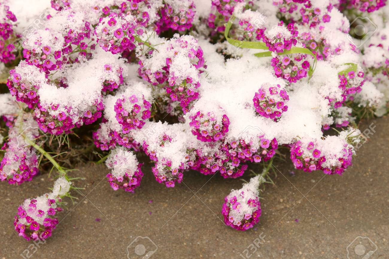 Small pink flowers under the fresh snow - 127056833