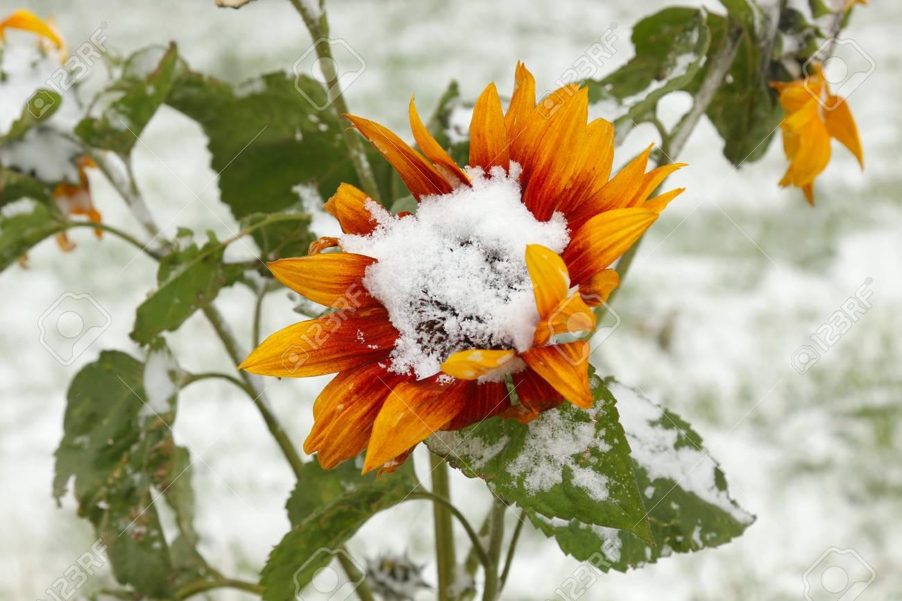 Sunflower under fresh snow - 127056836