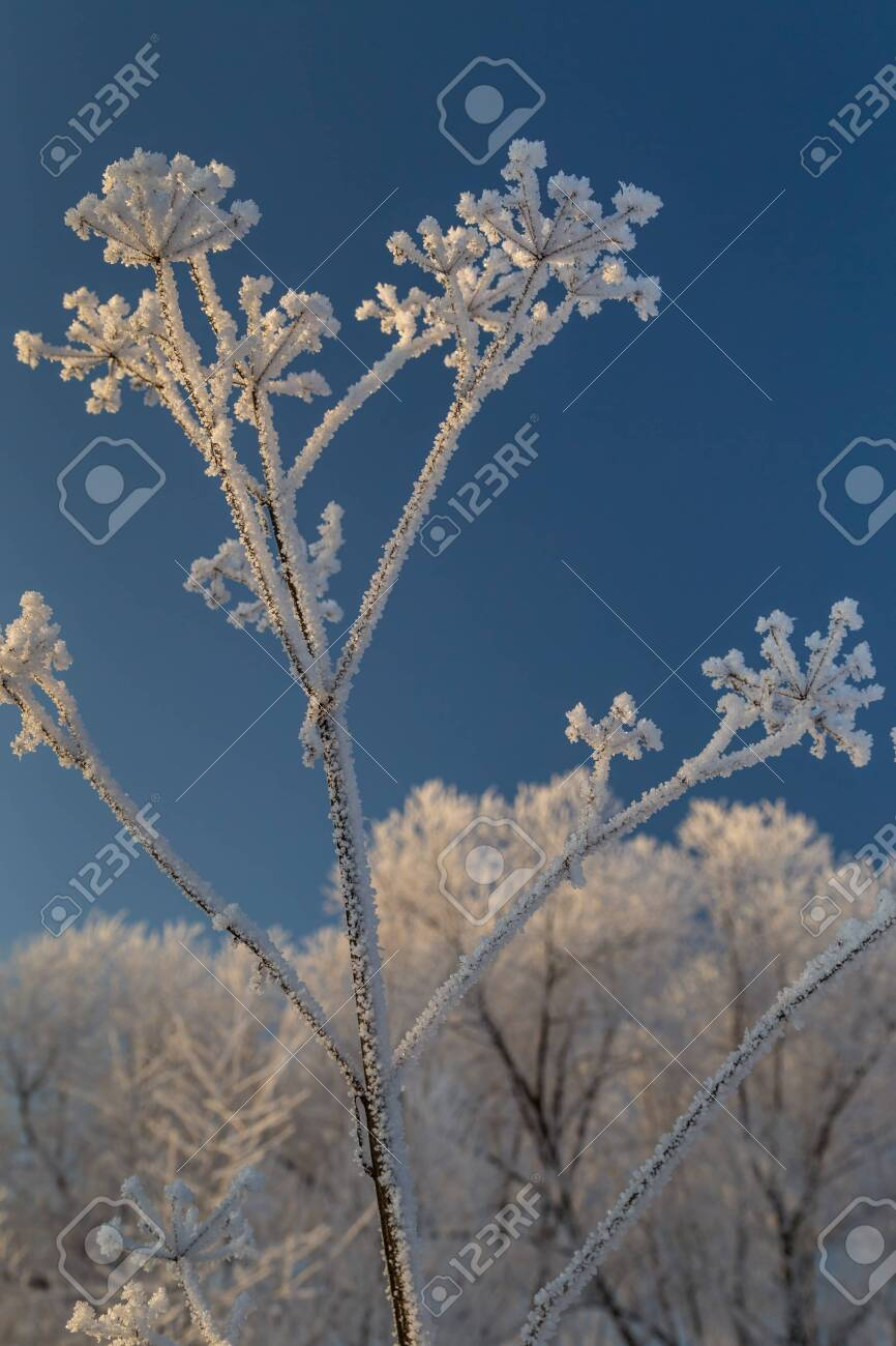 Dry plants covered with hoarfrost shining in the sun. Winter background - 127056864