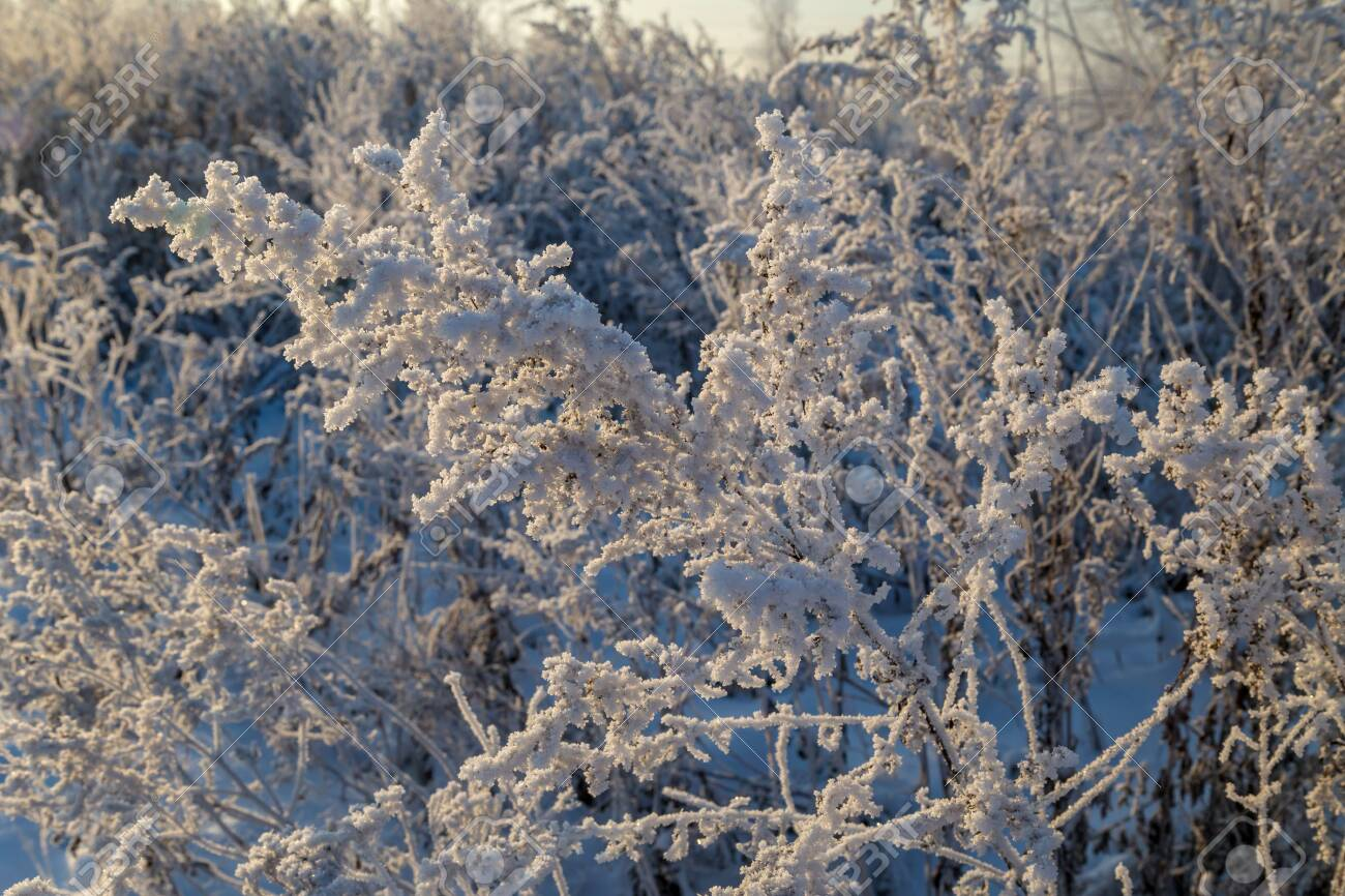 Dry plants covered with hoarfrost shining in the sun. Winter background - 127056892