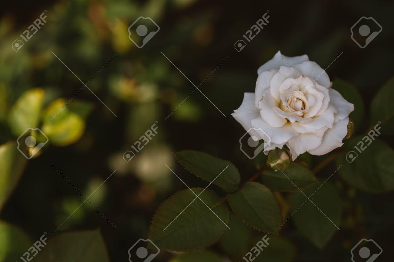 Bush White Rose On A Background Of Green Shrubs. Stock Photo ...