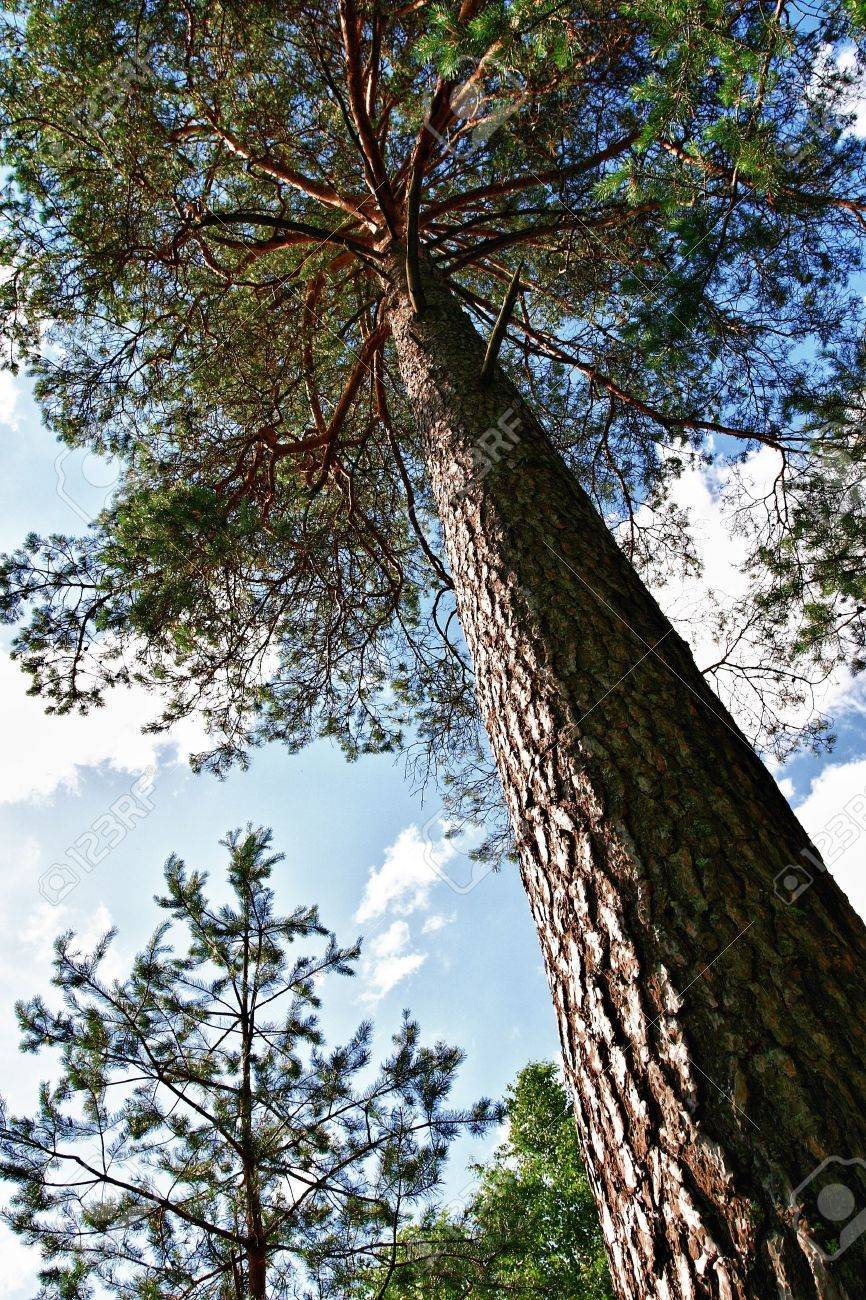 Pine tree close up over blue sky Stock Photo - 9713422