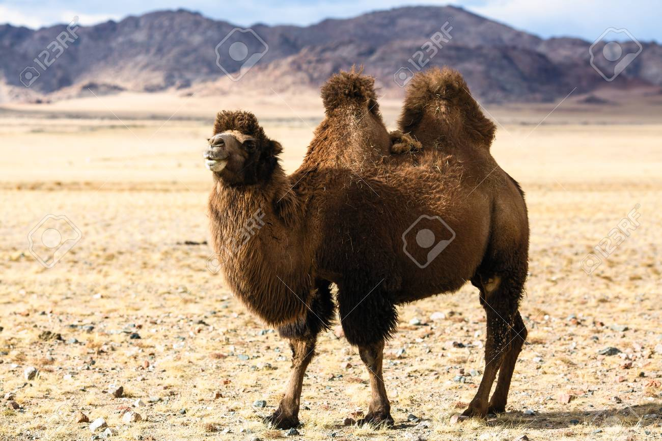 Steppe camel in the foothills of Western Mongolia. - 119775316