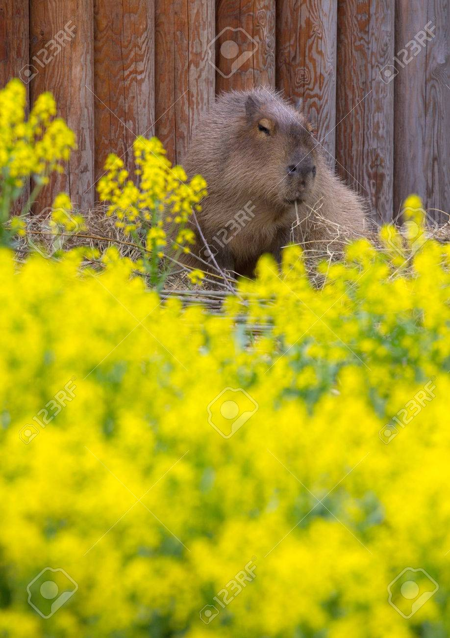 Cute capybara sitting on the field of yellow flowers stock photo cute capybara sitting on the field of yellow flowers stock photo 80771101 mightylinksfo