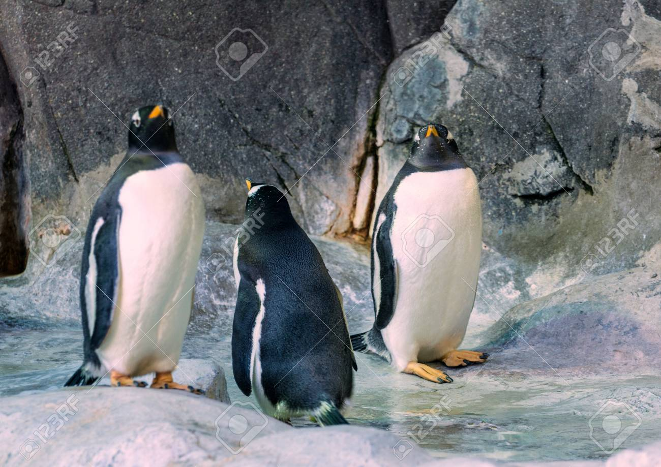 couple of gentoo penguins on the rock cute animals closeup stock