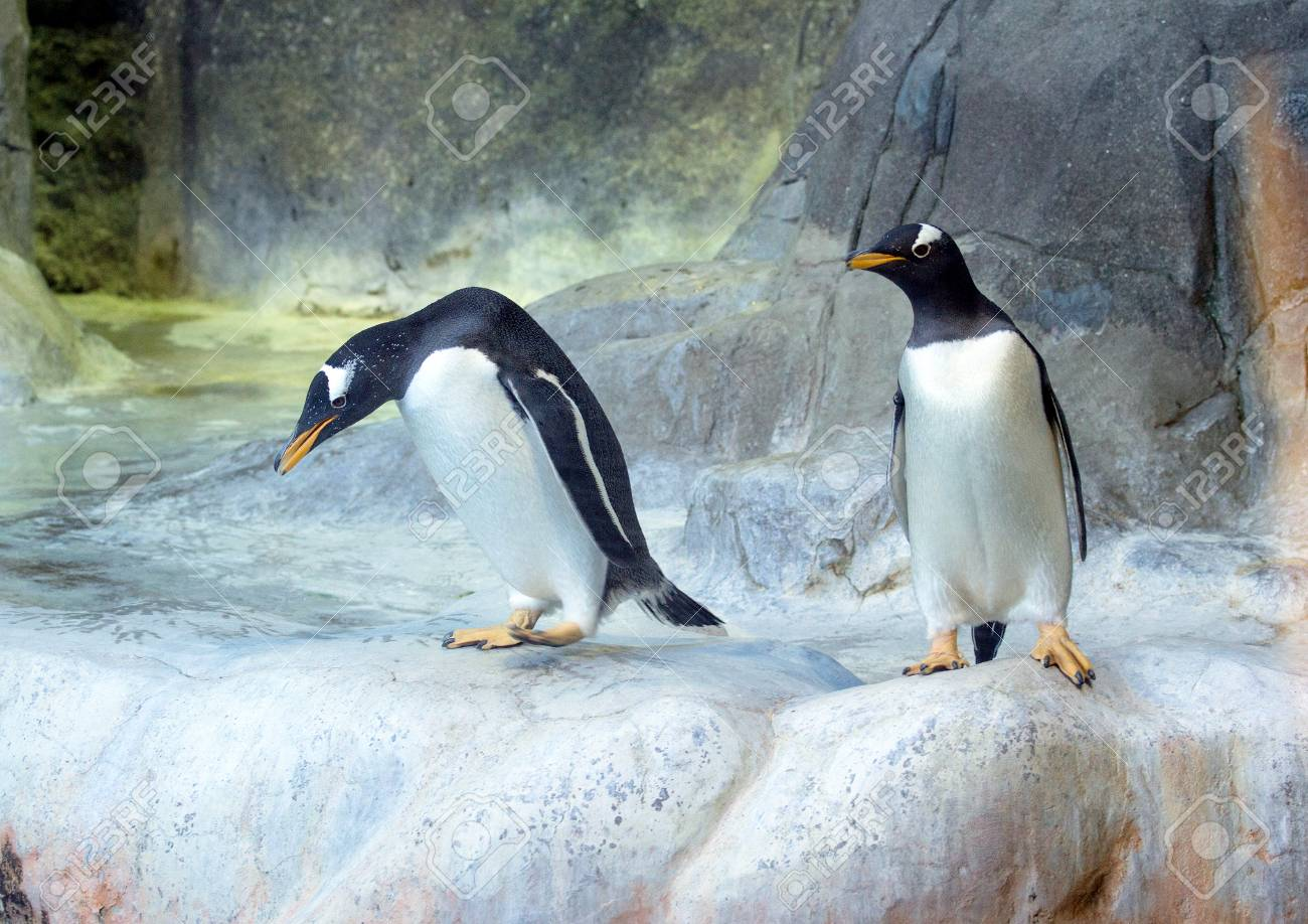 two of gentoo penguins on the rock cute animals closeup funny
