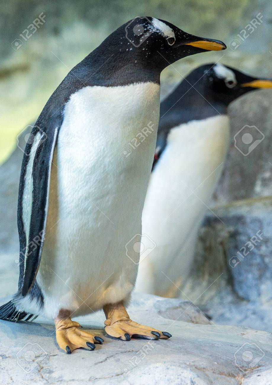 tow gentoo penguins on the rock cute animals closeup funny stock
