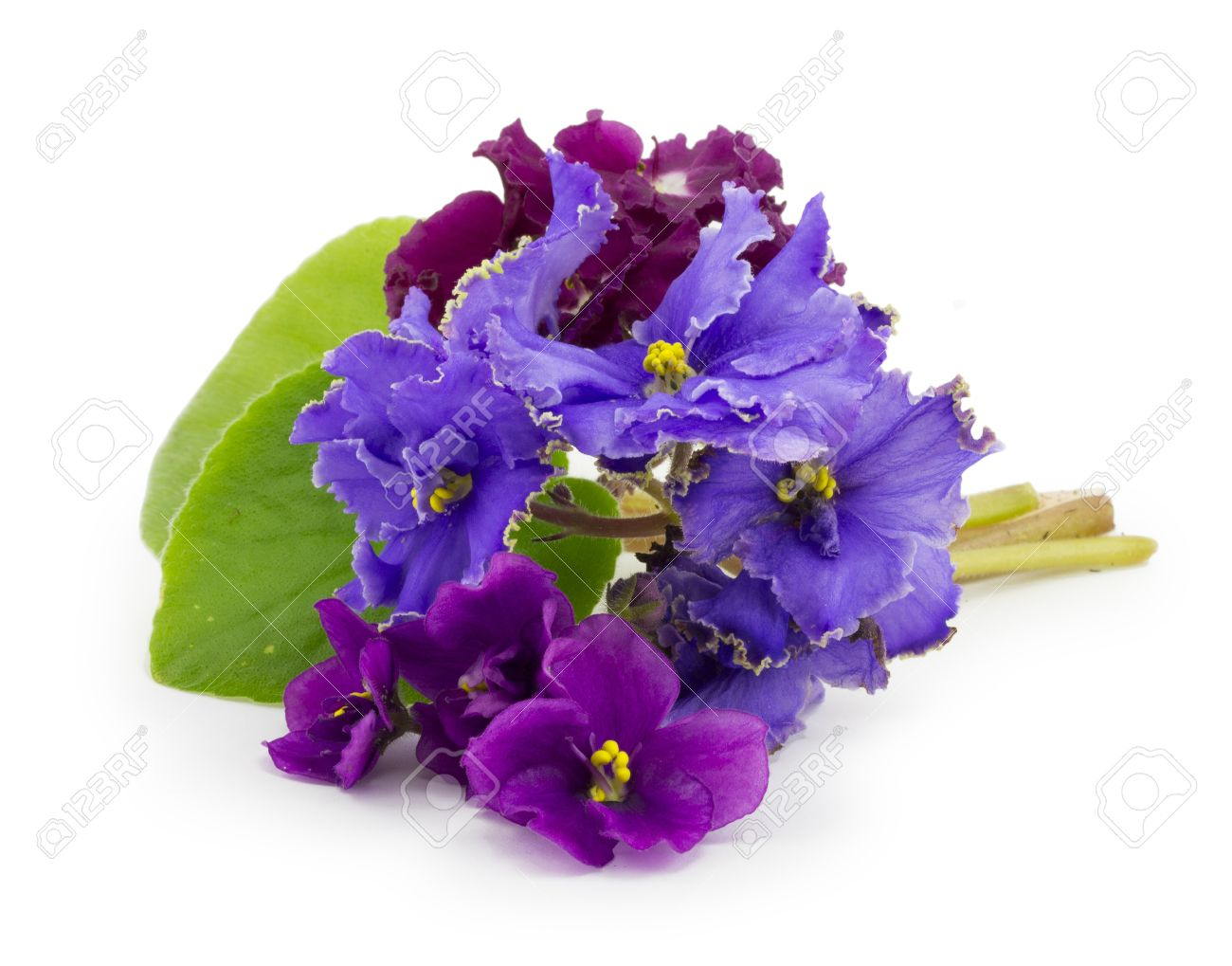 Violet flower isolated on white background stock photo picture violet flower isolated on white background stock photo 16424290 dhlflorist Image collections