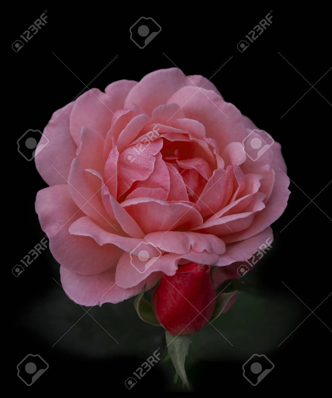 Beautiful Flower Of A Rose Bud Stock Photo Picture And Royalty Free