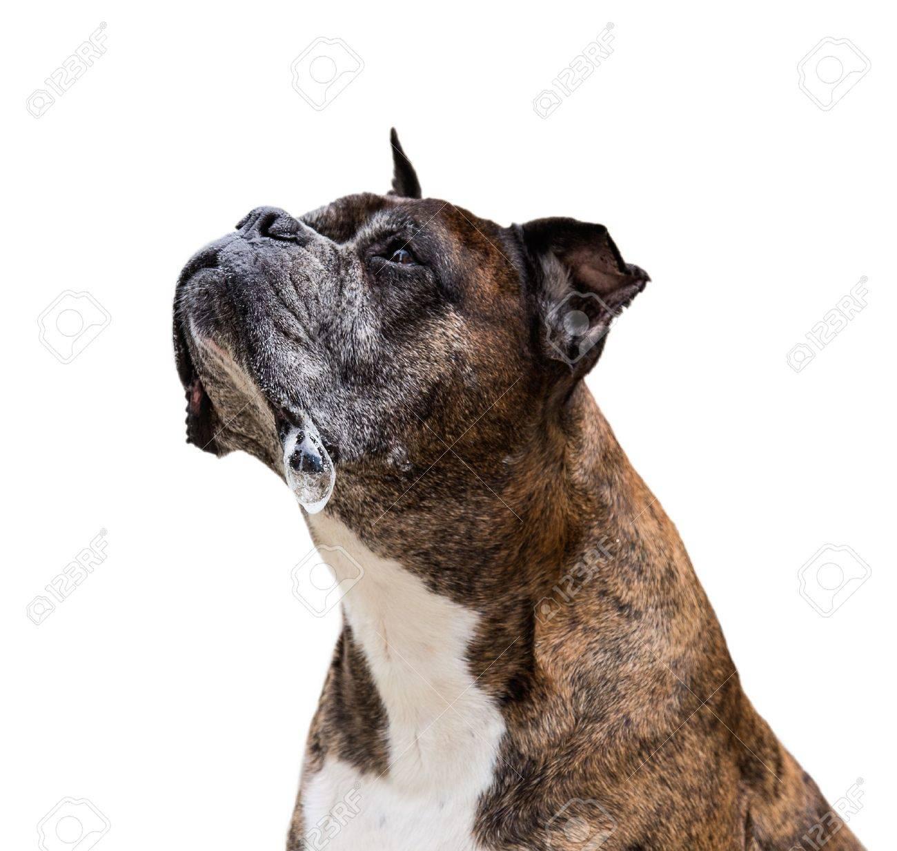 old boxer dog Standard-Bild - 21290083