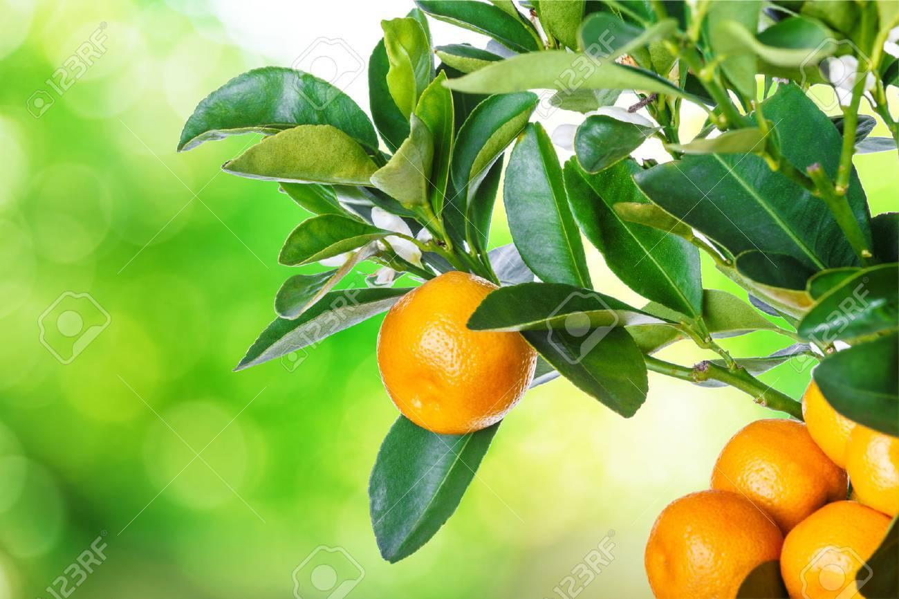 mandarine tree isolated on white background - 60778461