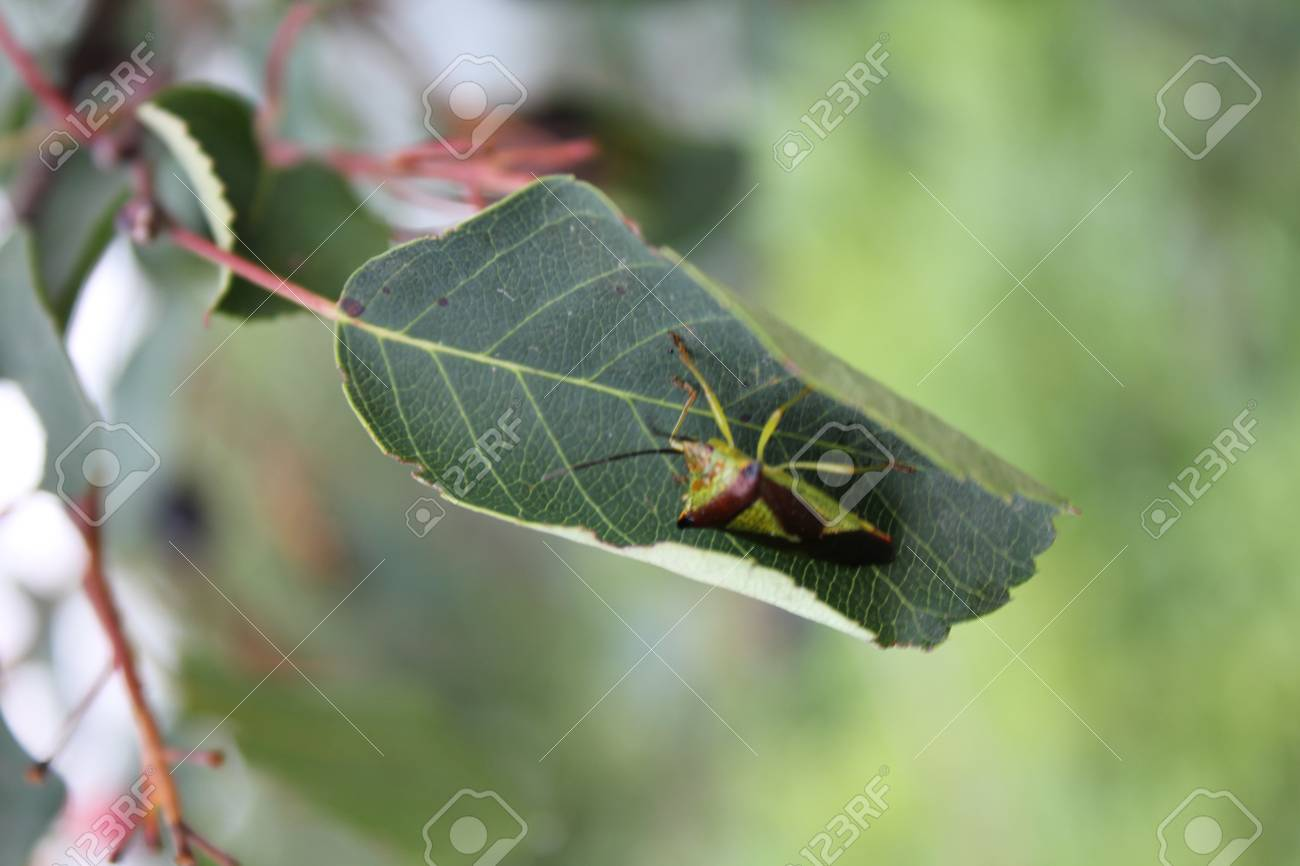 Green Bedbug On A Green Leaf With Natural Background 20484 Stock
