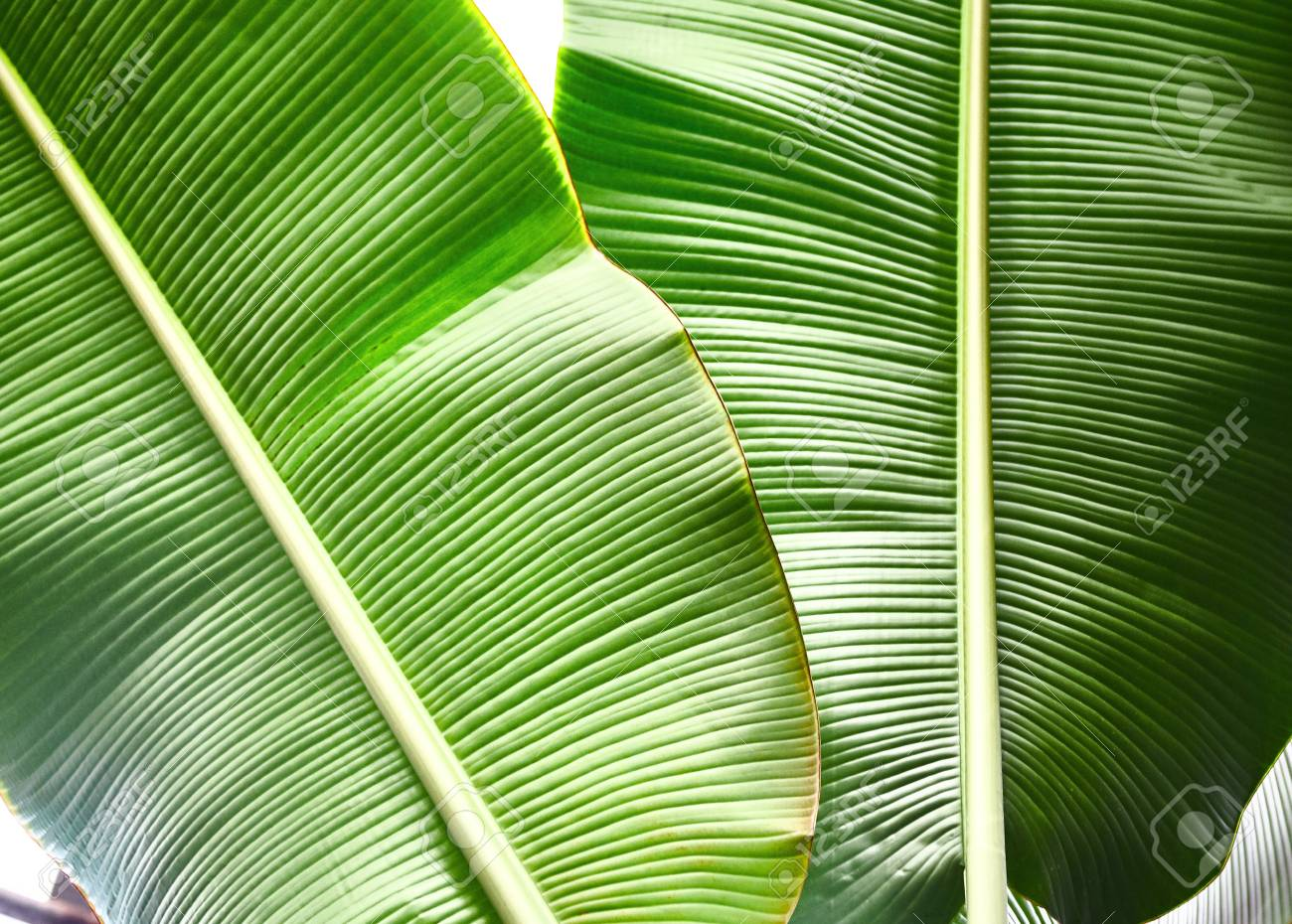 Green Tropical Leaves Pattern Close Up Background Plant Leaves Stock Photo Picture And Royalty Free Image Image 104467665 Select from premium tropical leaf of the highest quality. green tropical leaves pattern close up background plant leaves
