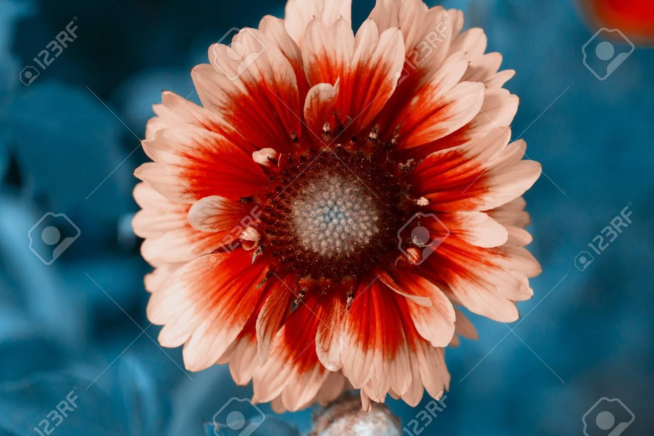 Beautiful single flower closeup  Flowerbackground, gardenflowers
