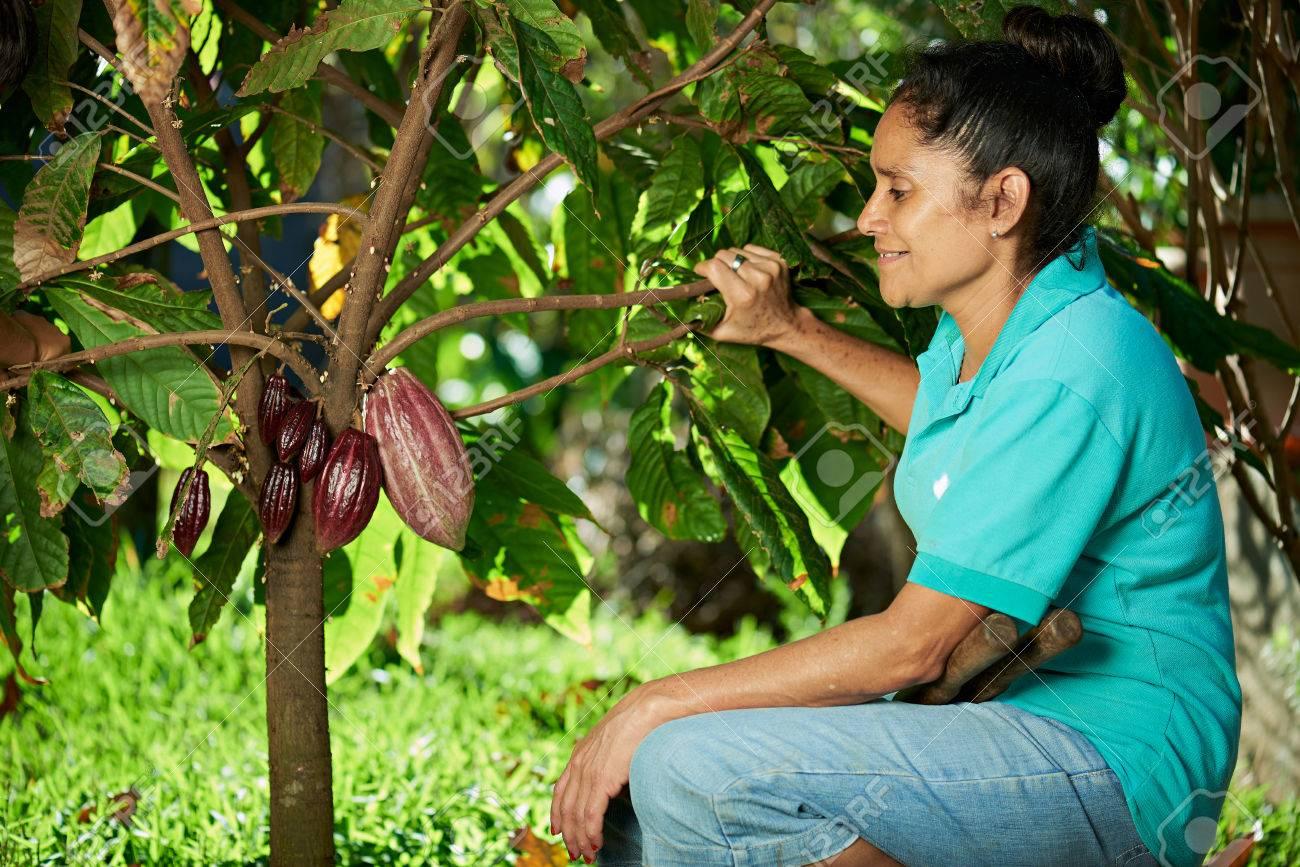 farmer woman look cacao pod on tree - 53750583