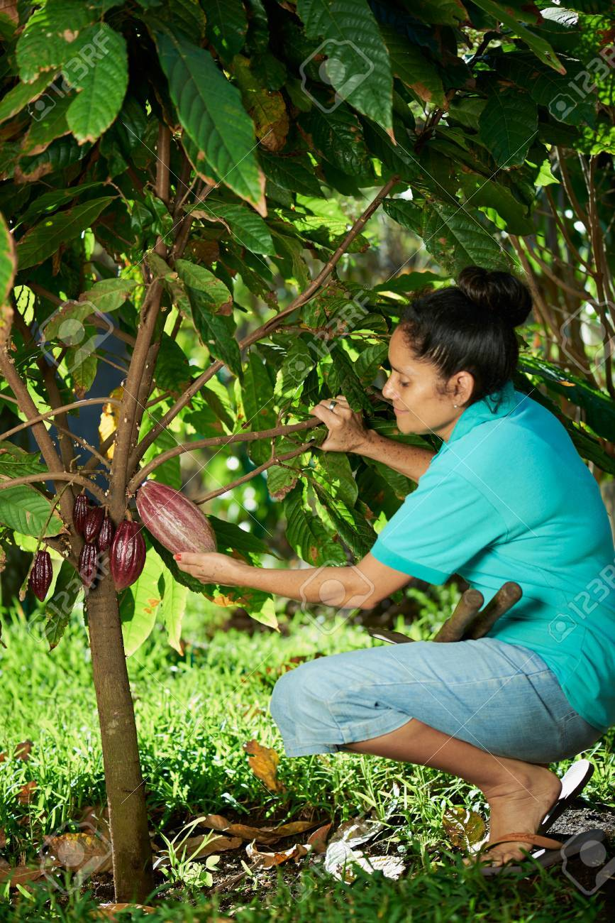 woman farmer hold red cacao pod on tree - 53750590