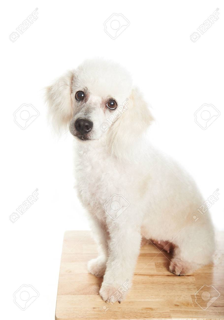 White French Poodle Female Dog Sitting On Table With White