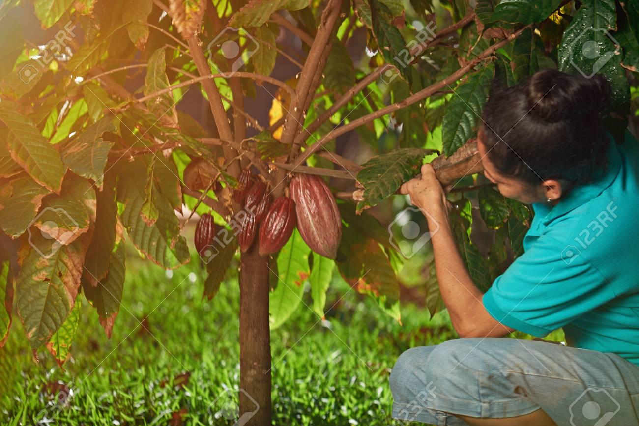 Farmer cut red cacao pod on sun light day plantation - 128188557