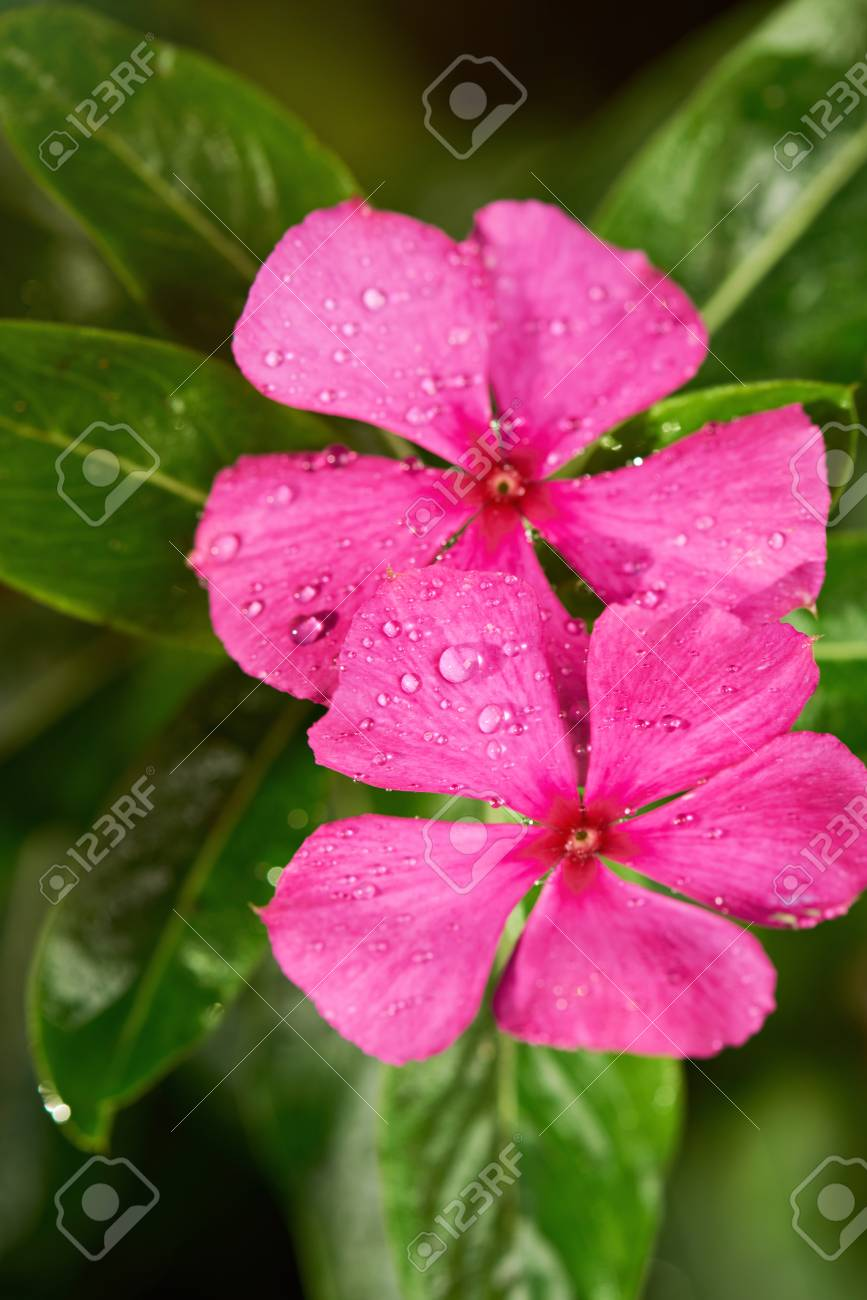 two vinca flowers with dew water drops close up stock photo picture