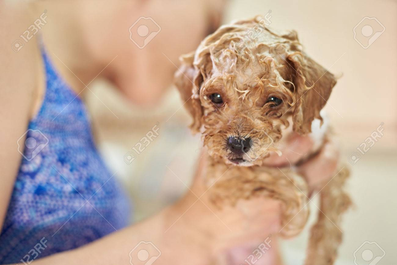 Cute Brown Poodle Puppy Taking Shower. Bathing Small Dog Stock Photo ...