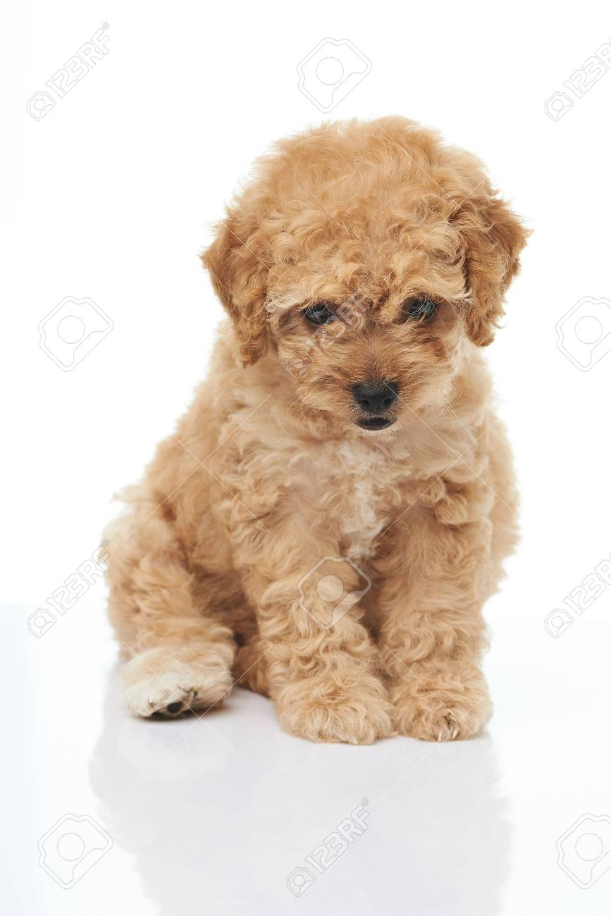 Adorable Sitting Brown Poodle Puppy Isolated On White Background Stock Photo Picture And Royalty Free Image Image 82967581