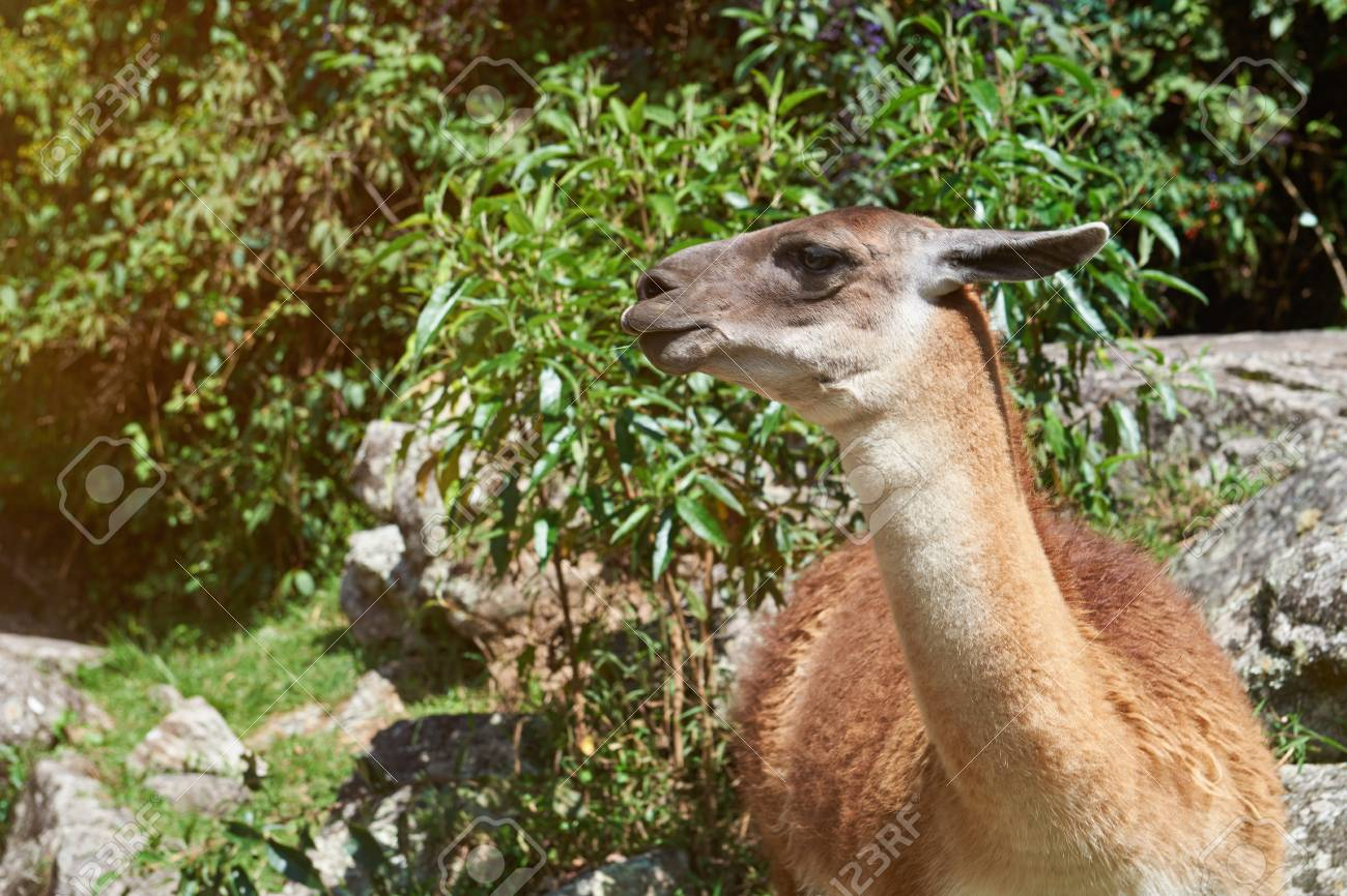 Brown Lama Animal Head In Nature Background. Pretty Domestic.. Stock Photo, Picture And Royalty Free Image. Image 88854948.