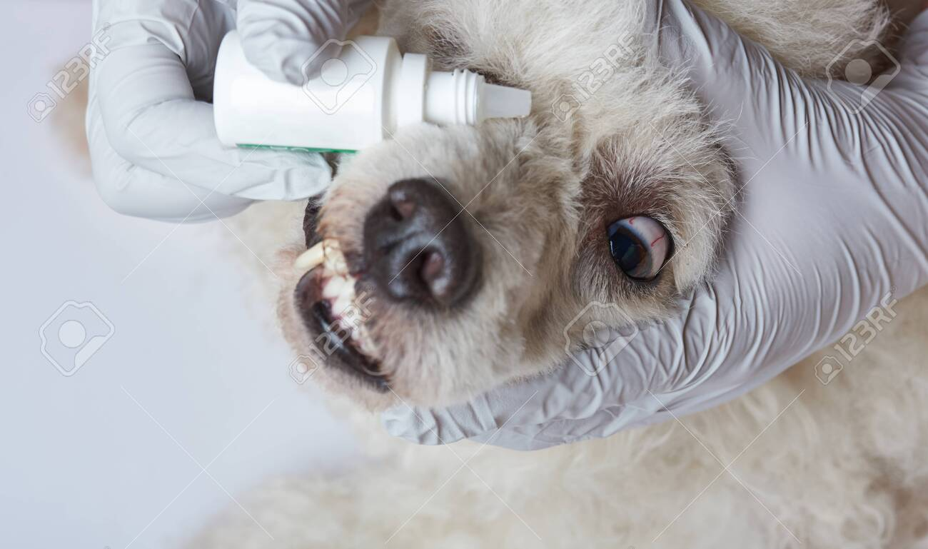 Healing dog eye with drops  Dripping vet eye drops in dog
