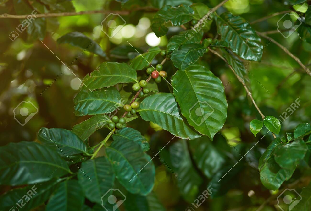 Coffee Agriculture Theme Growing Green Coffee Beans On Tree Stock