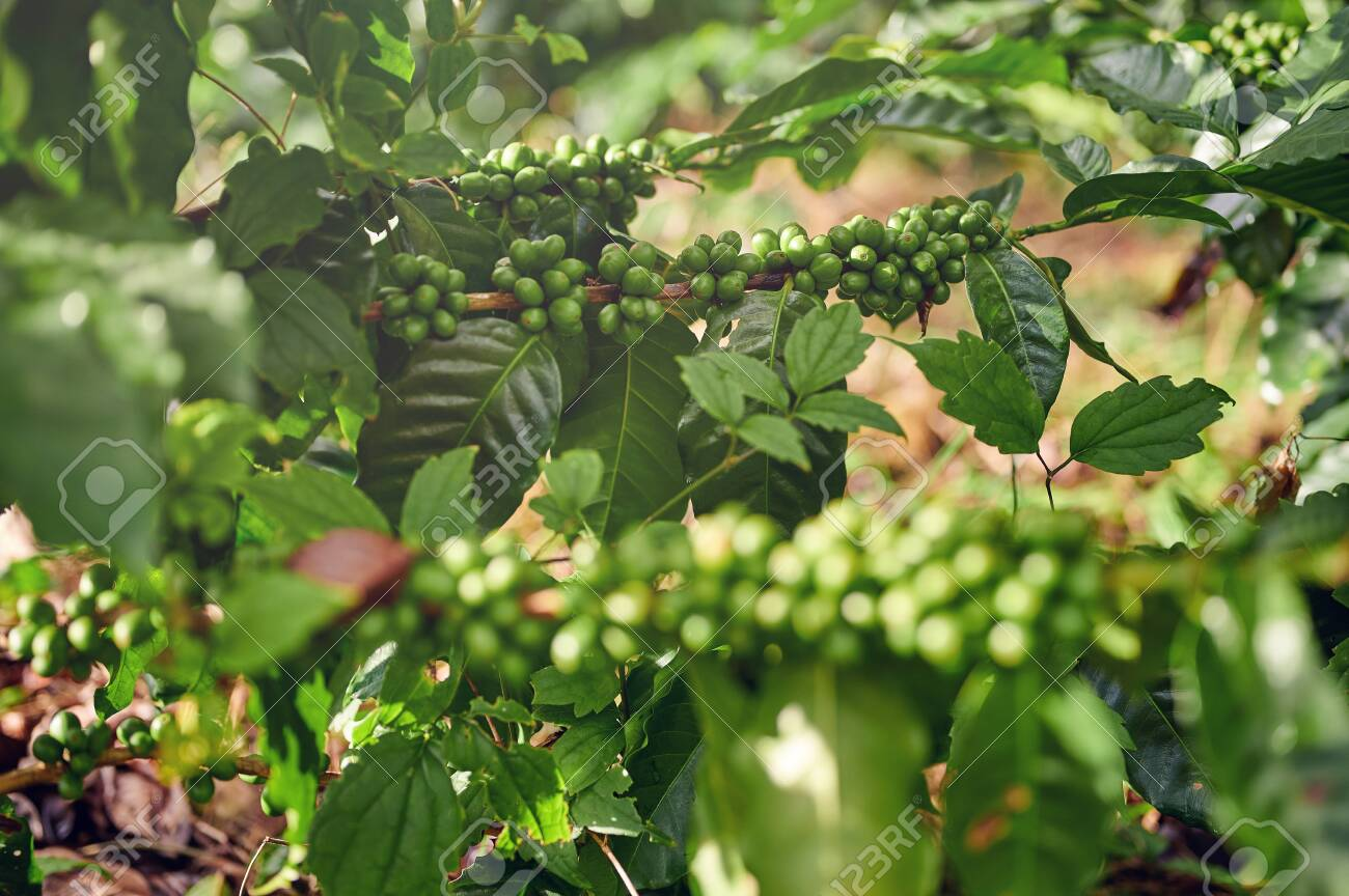 Harvesting Coffee Theme Green Coffee Beans Growing On Plant Stock