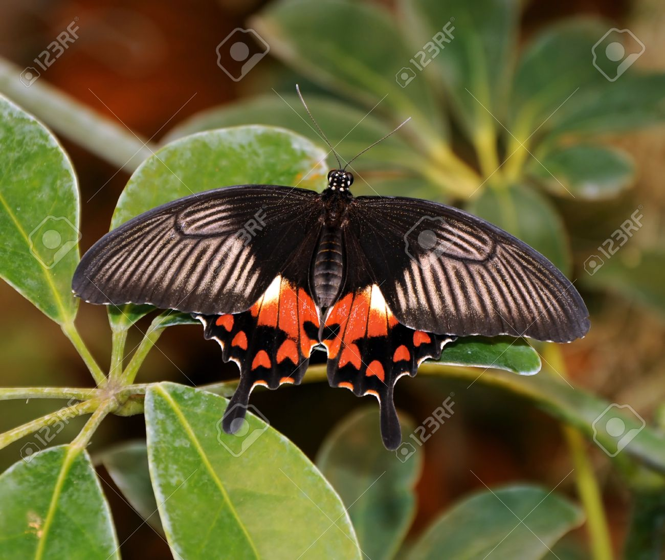Sưu tập Bộ cánh vẩy 2 - Page 63 15582252-scarlet-mormon-papilio-deiphobus-rumanzovia-black-butterfly-on-a-background-of-green-leaves