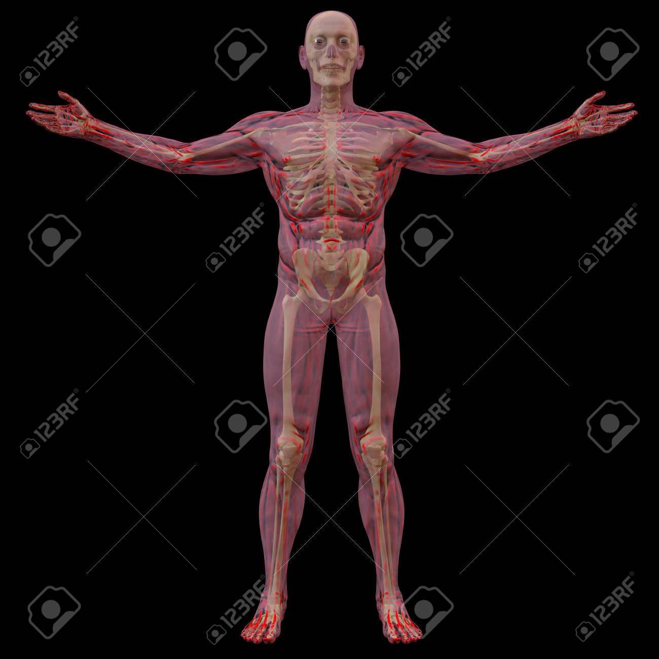 Cuerpo Humano Translúcido Con Huesos Visibles. Aislados En Negro ...