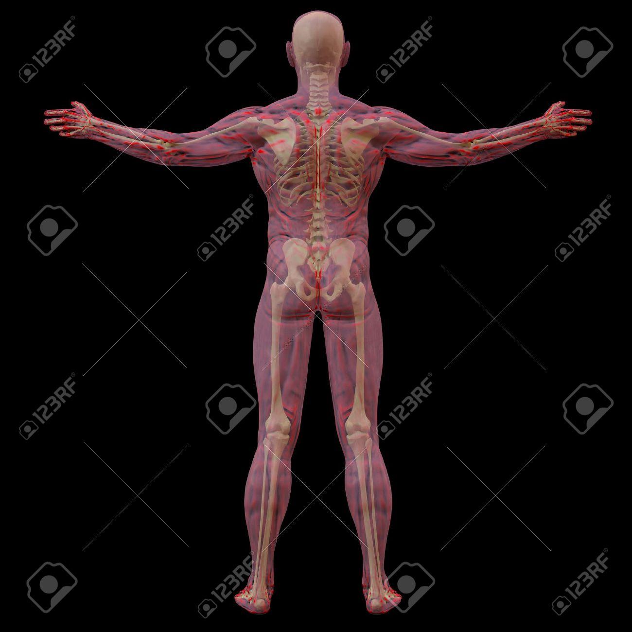 Berühmt Diagramm Von Knochen Im Körper Galerie - Anatomie Von ...