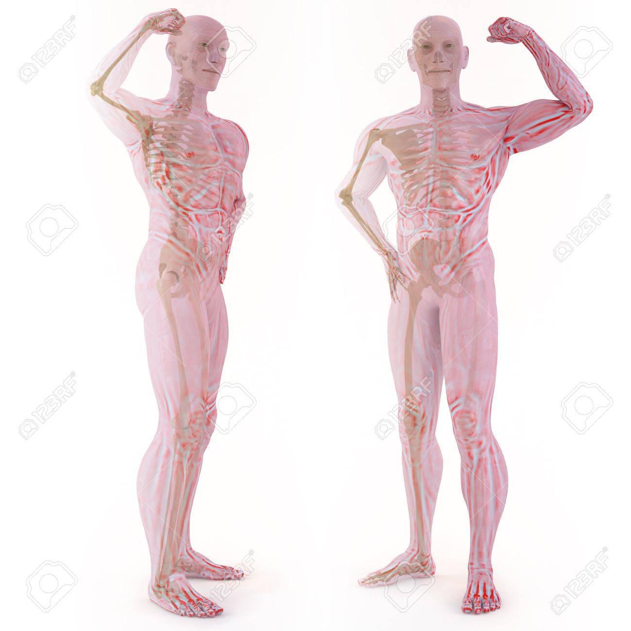 Transluzente Menschlichen Körper Mit Knochen Sichtbar. Isoliert Auf ...
