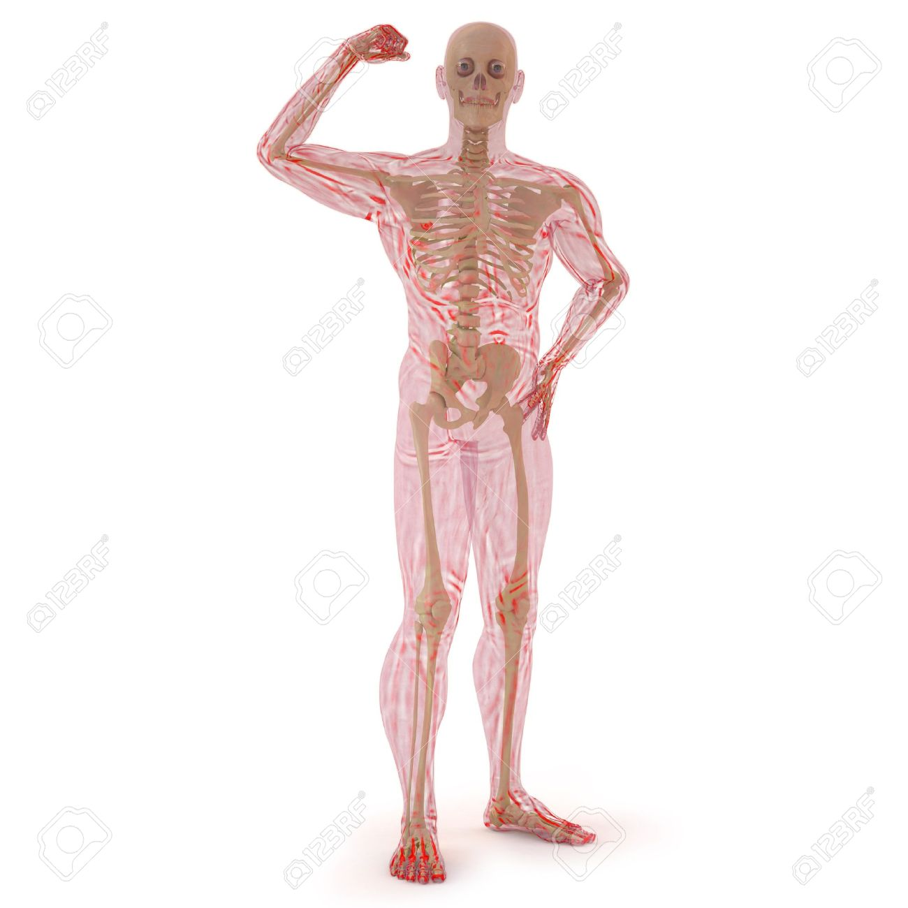Translucent human body with visible bones isolated on white translucent human body with visible bones isolated on white stock photo 9521165 ccuart Image collections