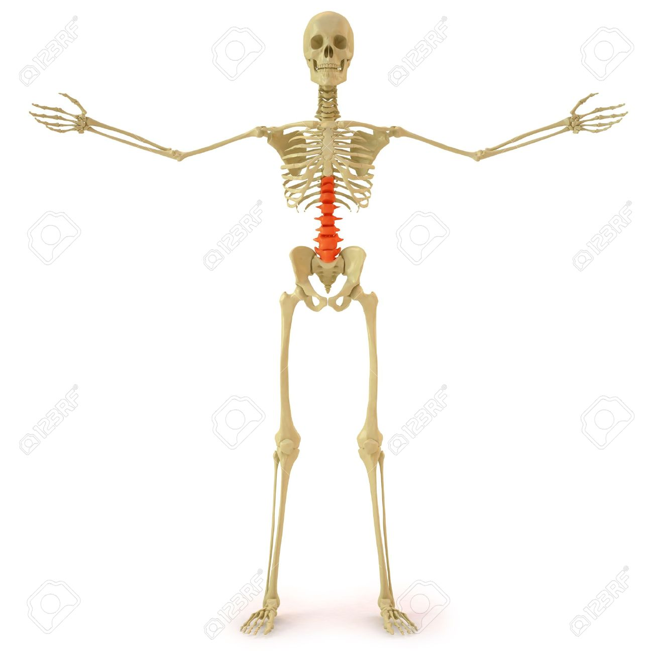 human skeleton with red spine. isolated on white. stock photo, Skeleton