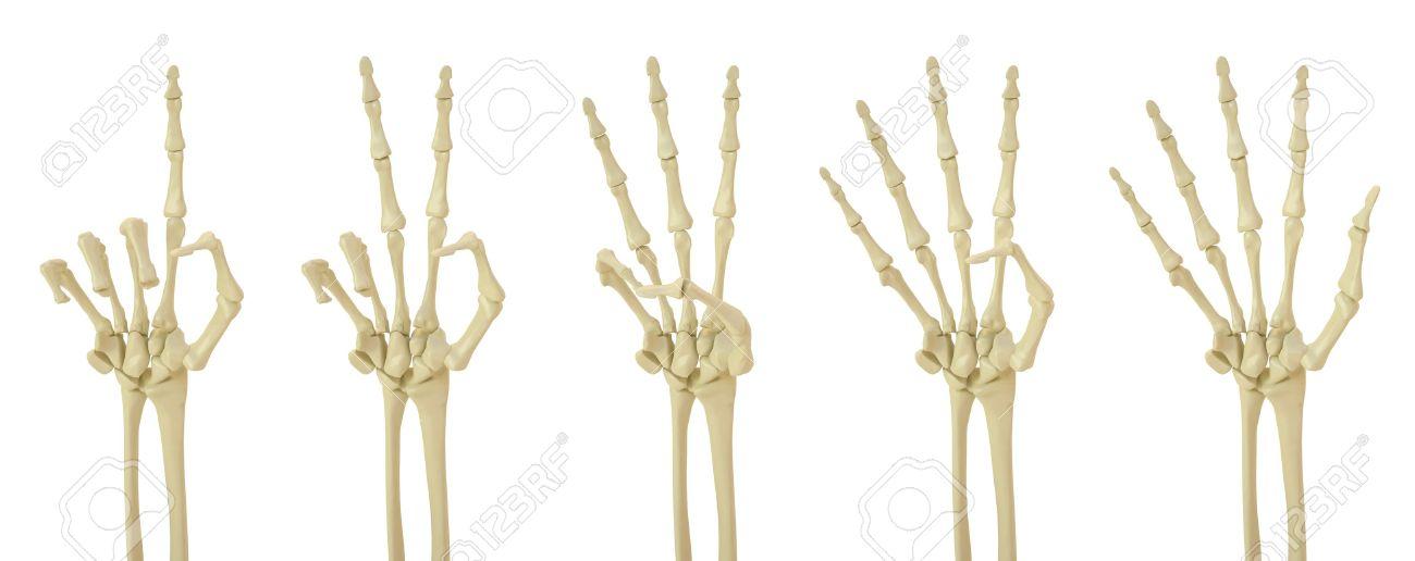 Esqueleto De Mano Muestra El Número De Dedos. Fotos, Retratos ...
