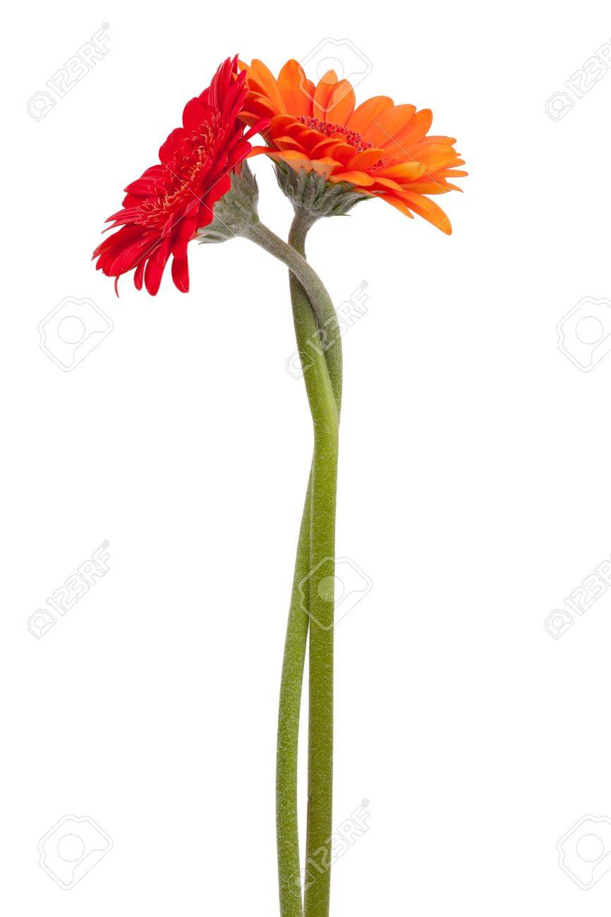Two-colored gerbera, binding the each other on a white background Stock Photo - 11387713