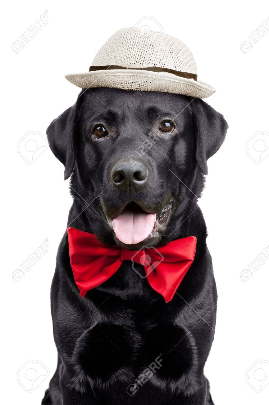 Black Labrador with a hat and tie on  white background Stock Photo - 13489622