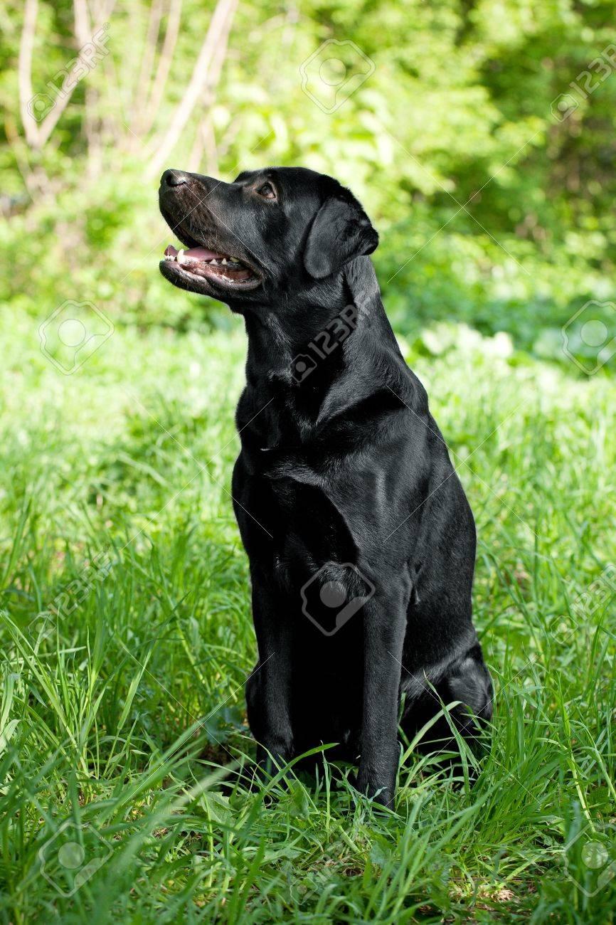 Labrador Retriever with a raised face in the grass Stock Photo - 13561547