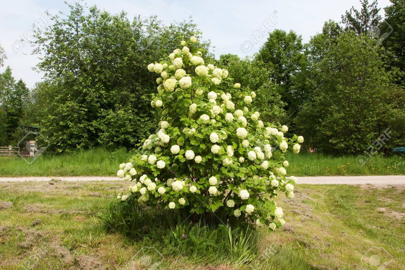 Shrub with clusters of white flowers in the garden stock photo shrub with clusters of white flowers in the garden stock photo 13775867 mightylinksfo