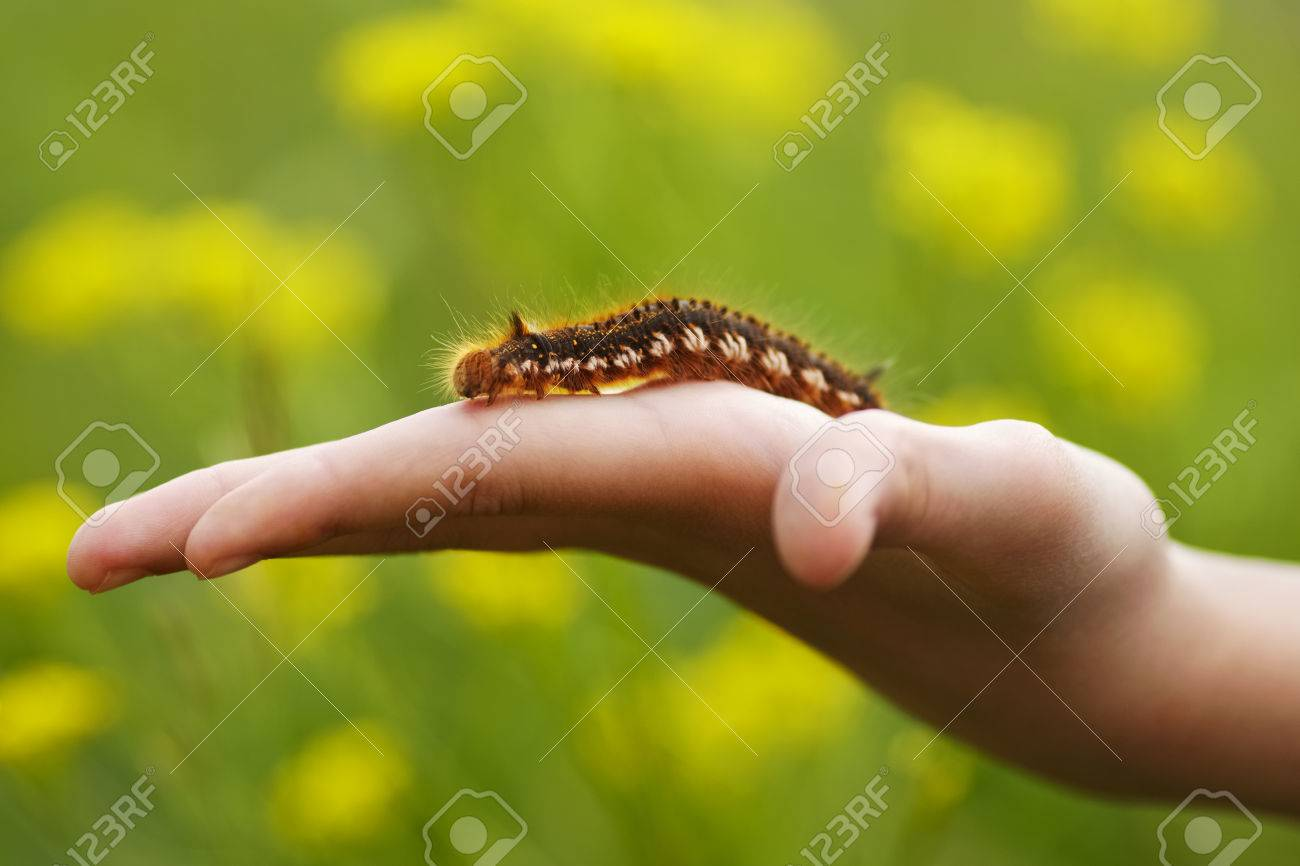 Brown Hairy Caterpillar Sitting On A Hand Stock Photo Picture And Royalty Free Image Image
