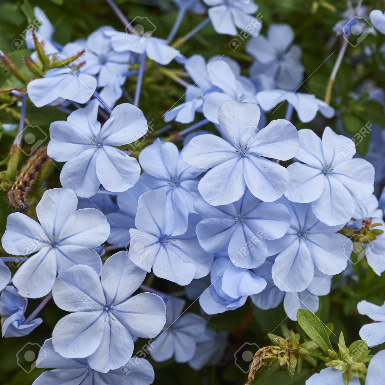 Image gallery jasmine purple blue flowers izmirmasajfo