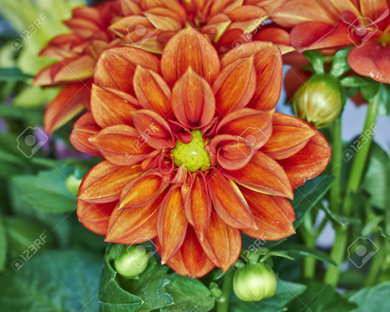 Orange Dahlia Flower Colorful Stock Photo Picture And Royalty Free