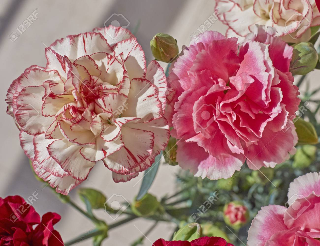 Pink And White Carnation Flowers Closeup Stock Photo Picture And