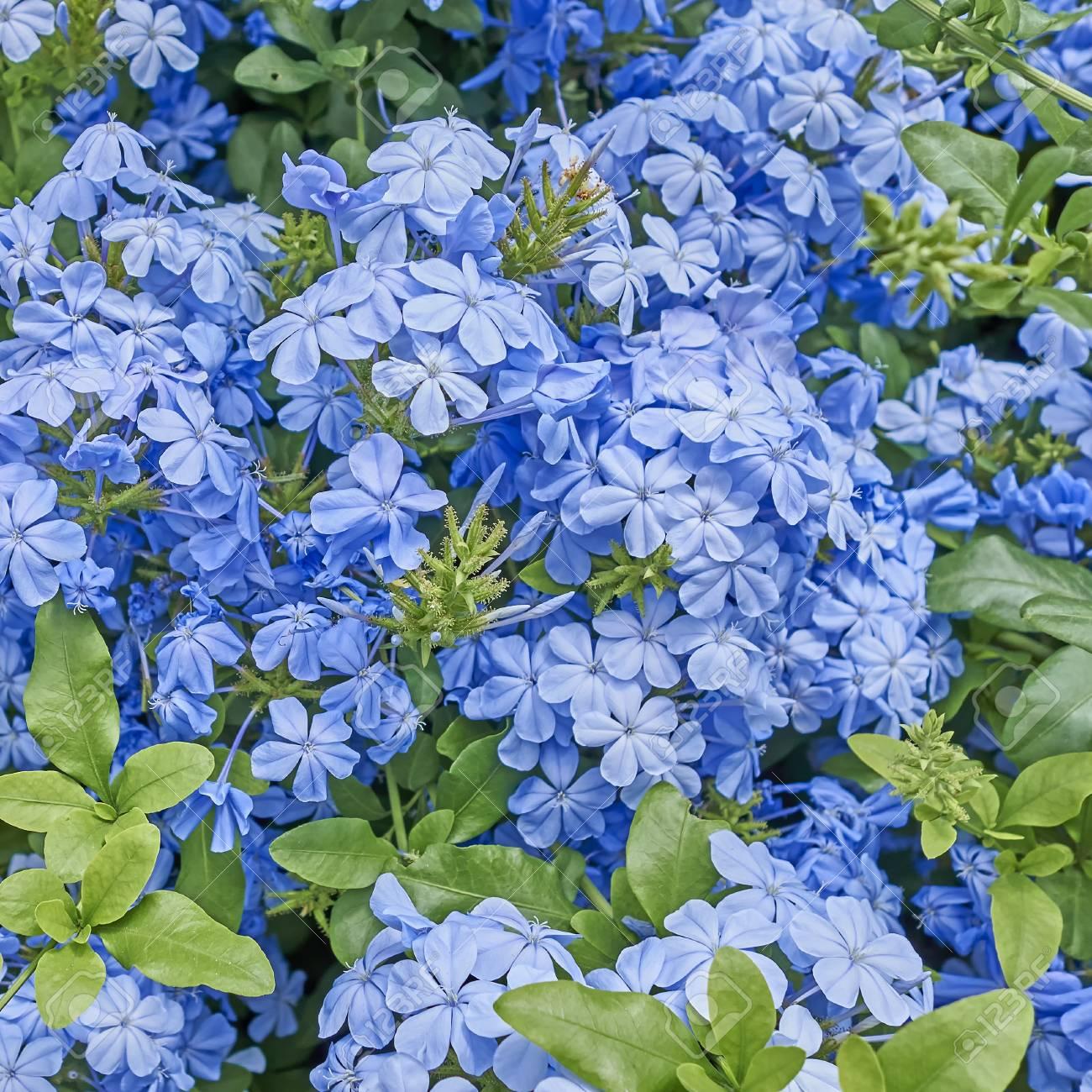 cyprus flowers-Blue Jasmine